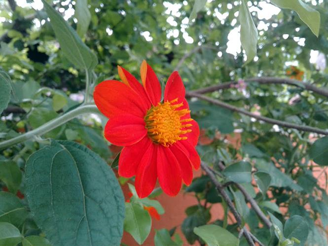 Tithonia rotundifolia - Canto das Flores 2