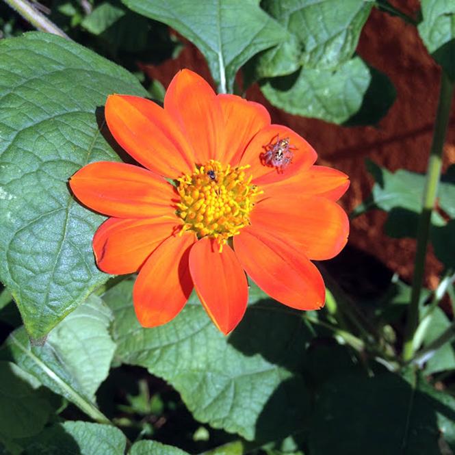 Tithonia rotundifolia - Canto das Flores 3