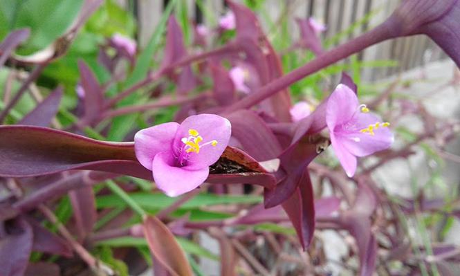 Tradescantia pallida - Canto das Flores 2