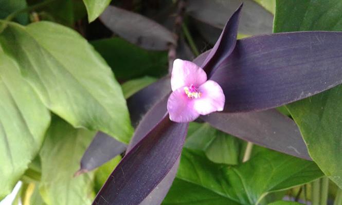 Tradescantia pallida - Canto das Flores 3