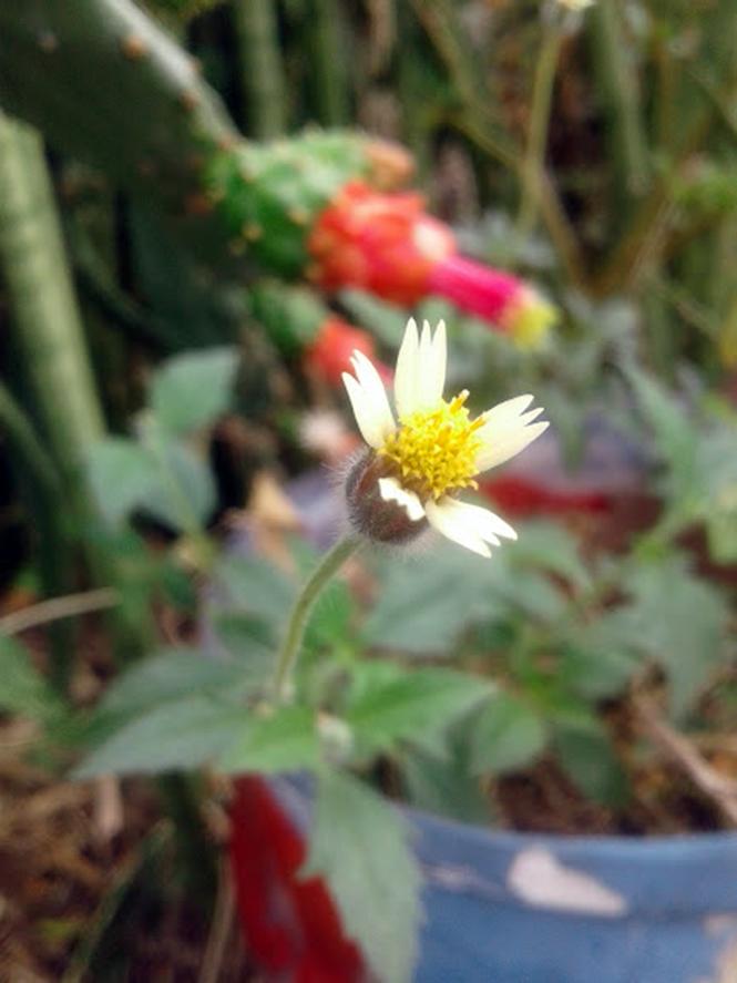 Tridax procumbens - Canto das Flores 1