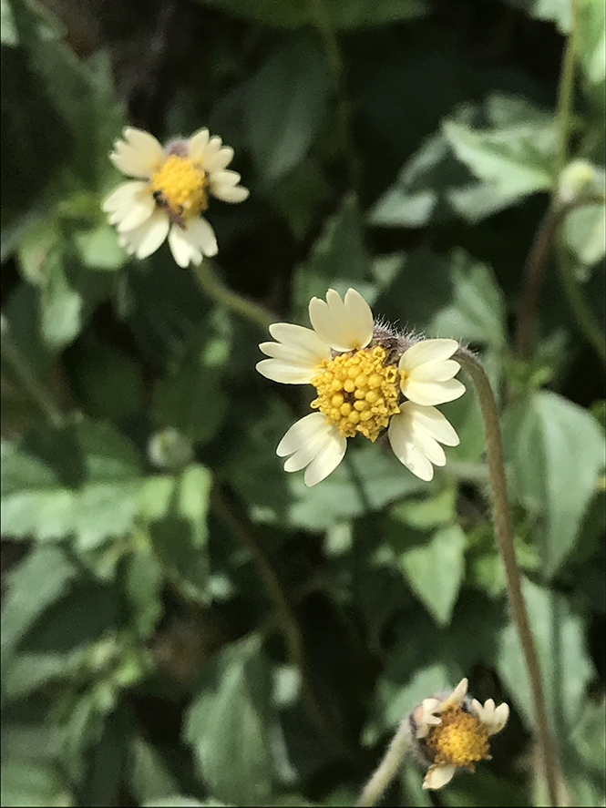 Tridax procumbens - Canto das Flores 10
