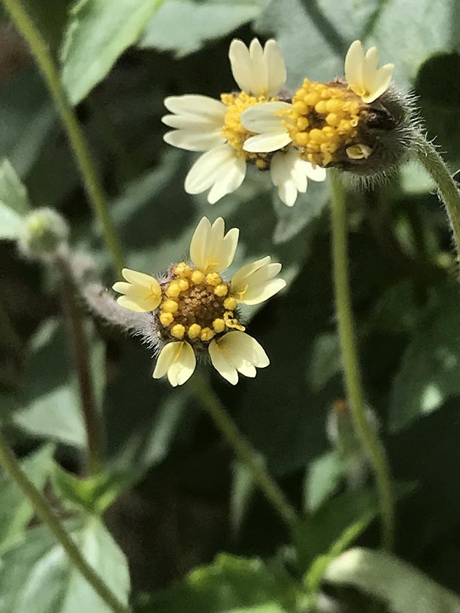 Tridax procumbens - Canto das Flores 11