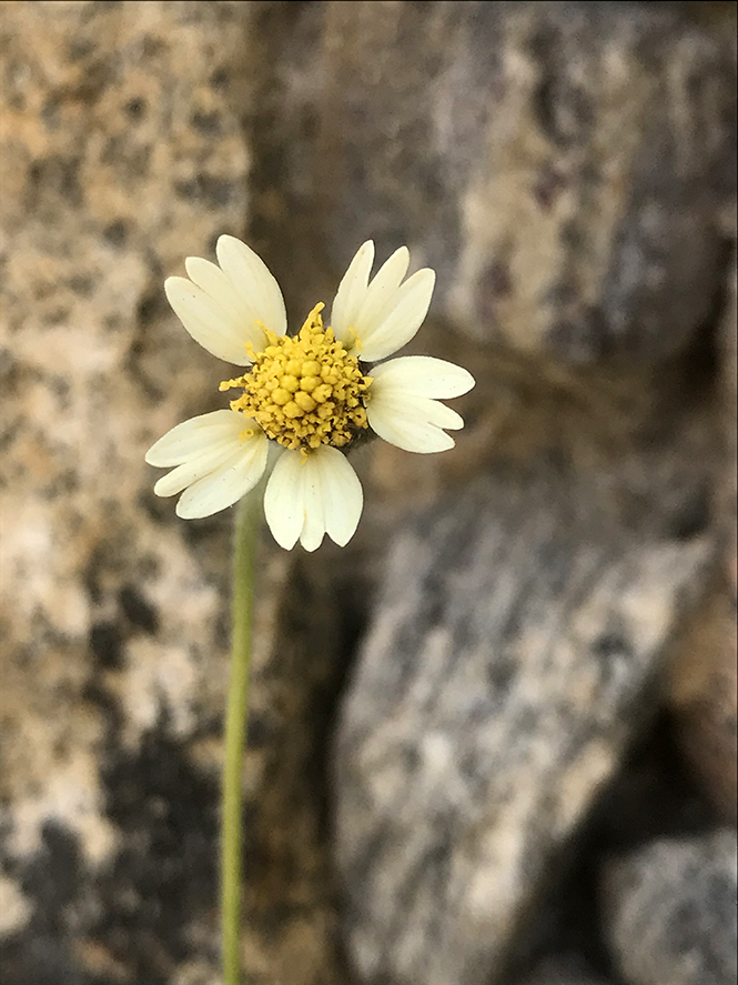 Tridax procumbens - Canto das Flores 12