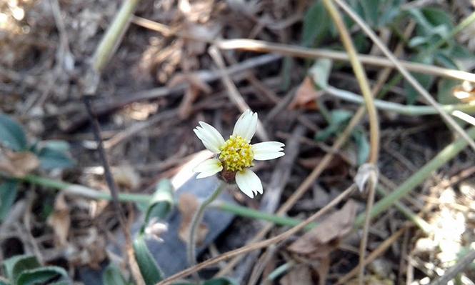 Tridax procumbens - Canto das Flores 2