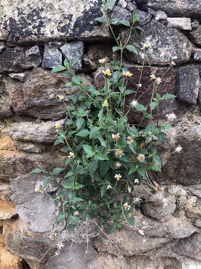 Tridax procumbens - Canto das Flores 3