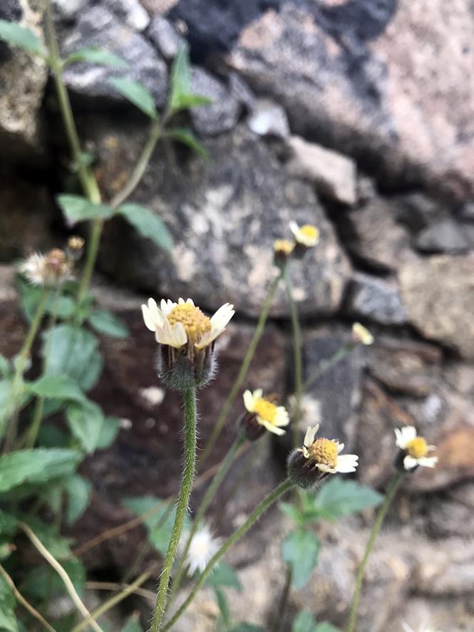 Tridax procumbens - Canto das Flores 4