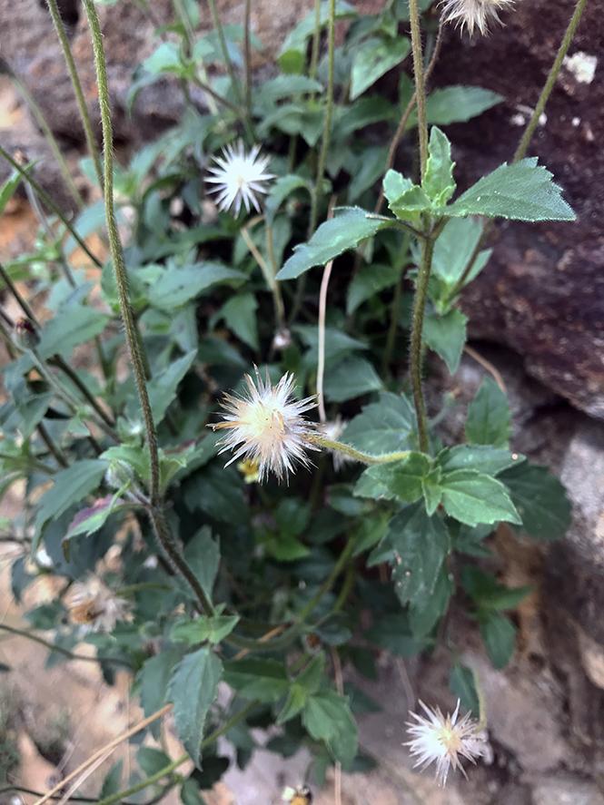 Tridax procumbens - Canto das Flores 5