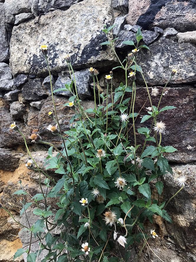 Tridax procumbens - Canto das Flores 7