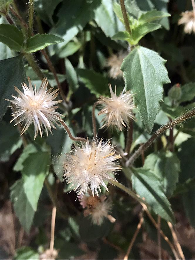 Tridax procumbens - Canto das Flores 8