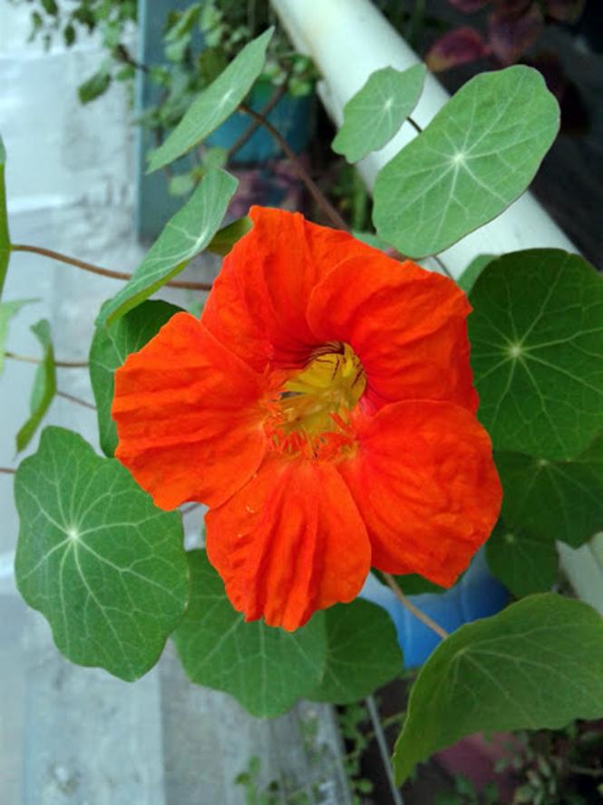 Tropaeolum majus - Canto das Flores 1