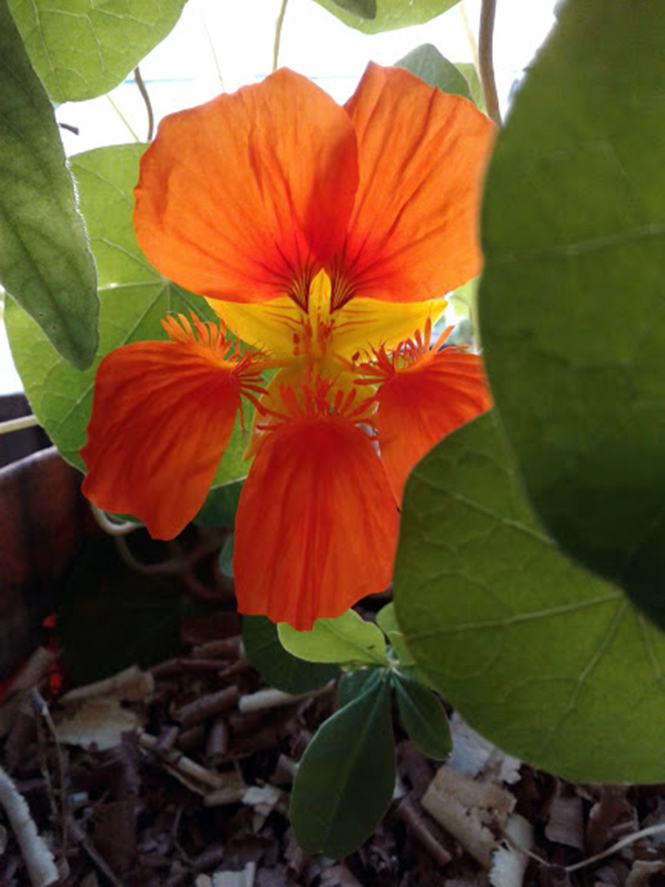 Tropaeolum majus - Canto das Flores 2