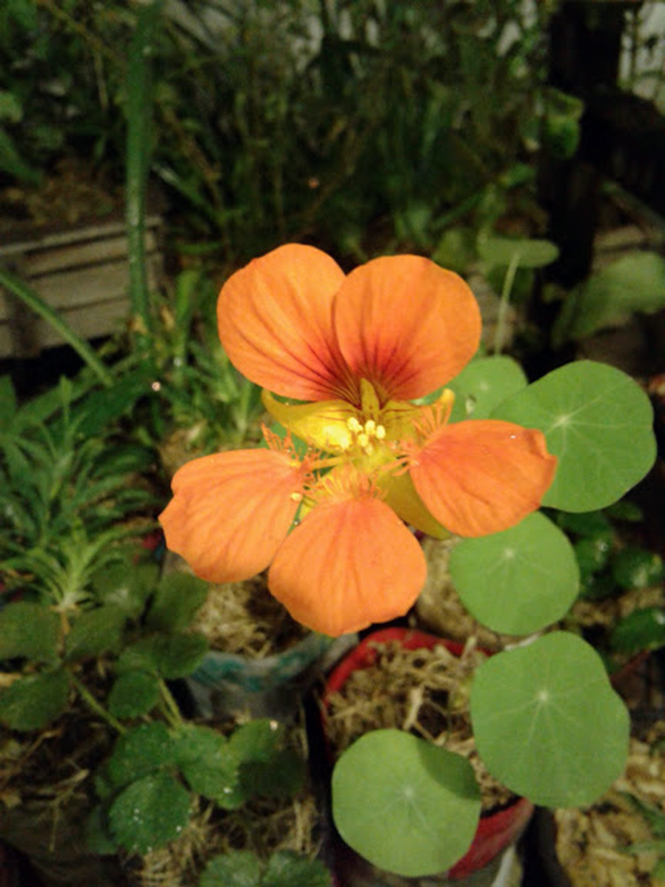 Tropaeolum majus - Canto das Flores 5