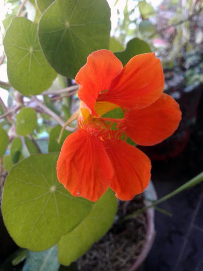 Tropaeolum majus - Canto das Flores 6