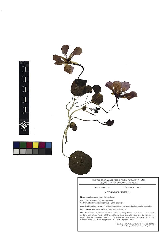 Tropaeolum majus - exsicata