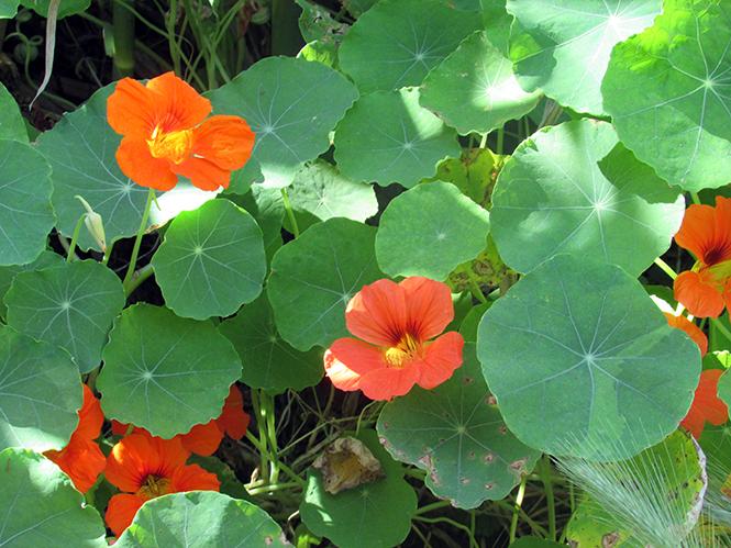 Tropaeolum majus - Kolforn - Canto das Flores 8