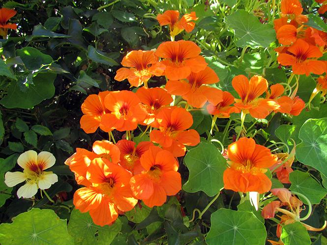 Tropaeolum majus - Kolforn - Canto das Flores 9
