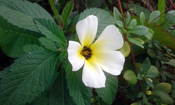 Turnera subulata - Canto das Flores 2