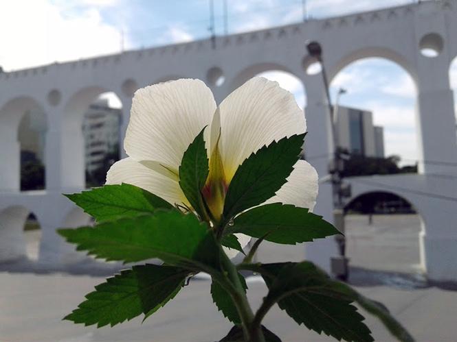 Turnera subulata - Canto das Flores 3
