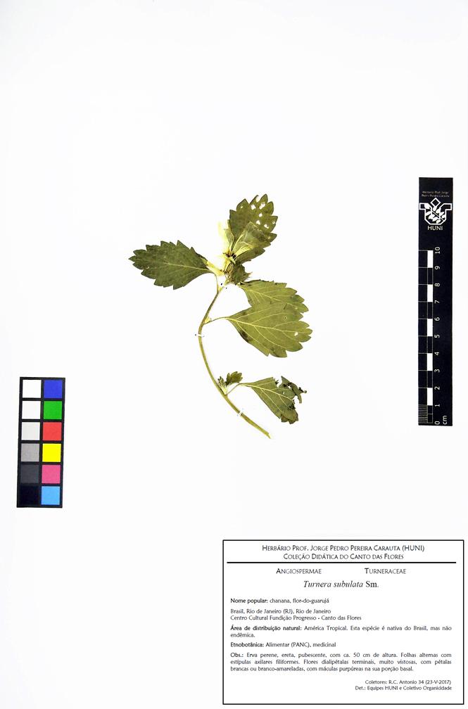 Turnera subulata - exsicata corrigida