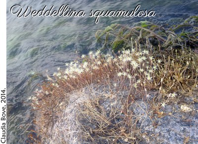 Weddellina squamulosa