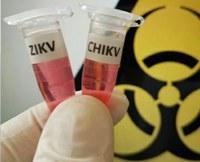Proteína do leite é capaz de inibir infecção pelos vírus Zika e Chikungunya