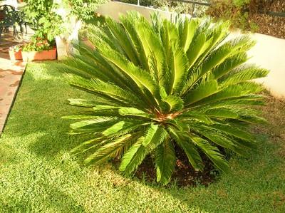 Licita es for Tipos de palmeras de exterior